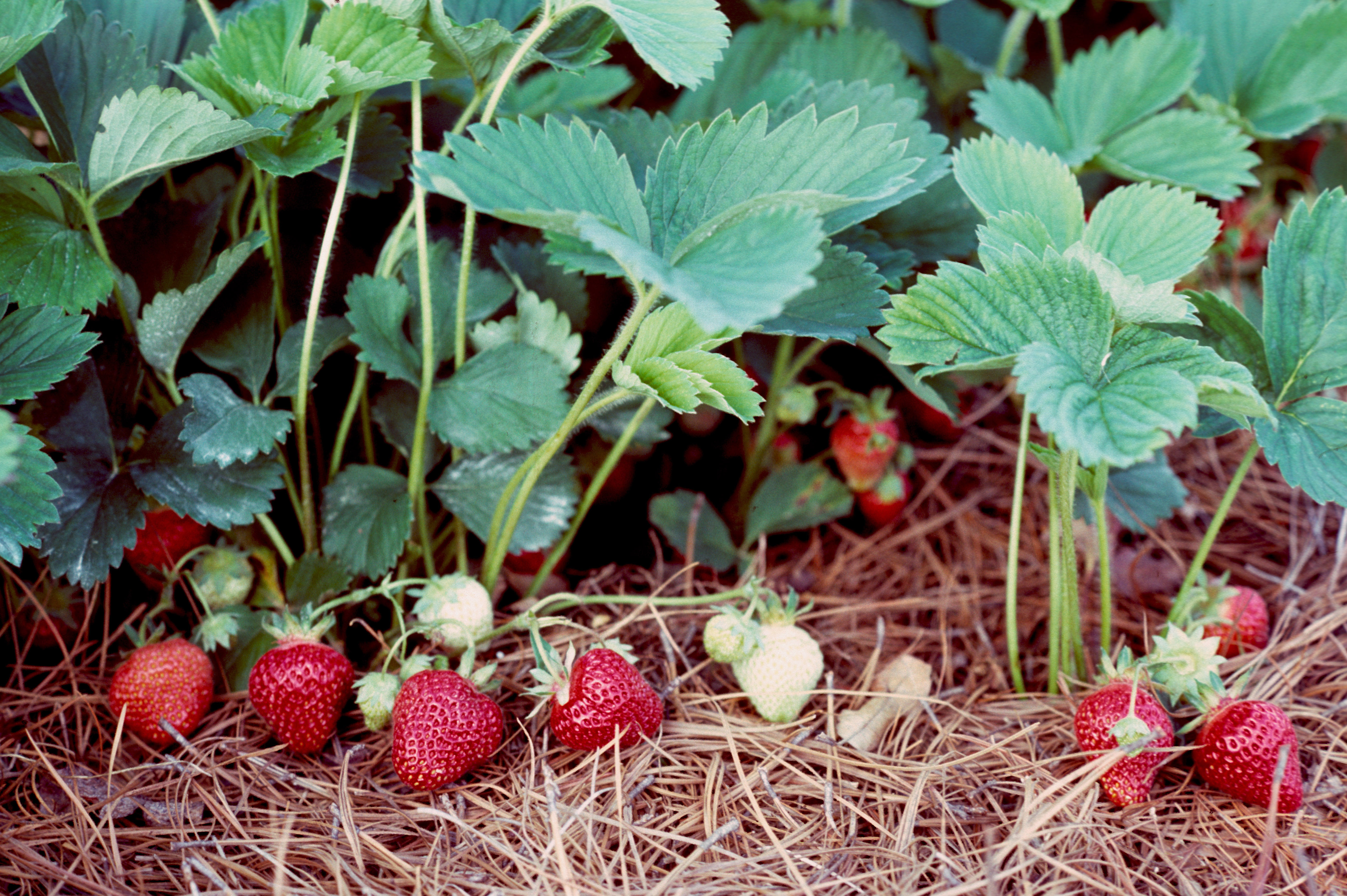 Strawberry plants with ripe strawberriesjpg