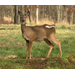 Deer destroying your landscape?  Try deer resistant plants.