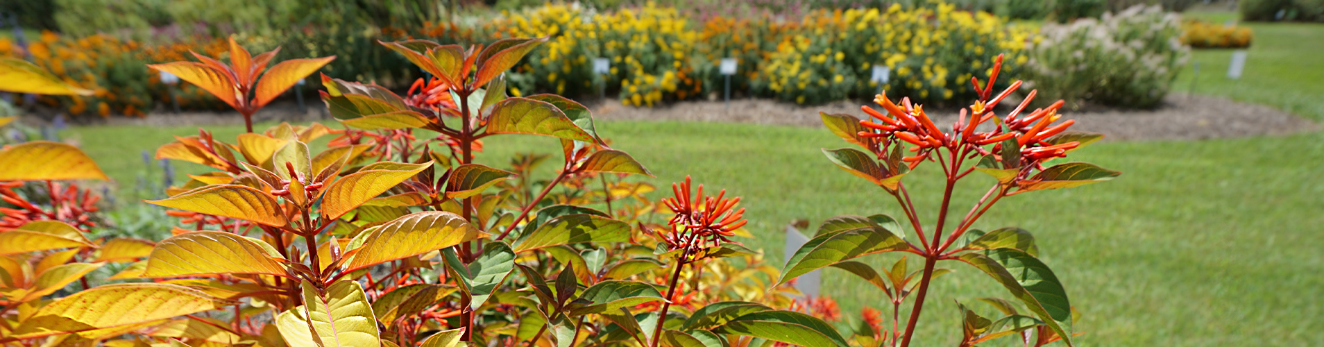 Lime-Sizzler-Firebush-orange-and-red-flower.jpg thumbnail