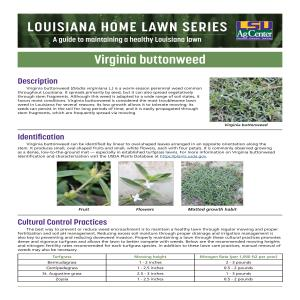 Louisiana Home Lawn Series: Virginia buttonweed