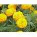 Marigolds and root-knot nematode