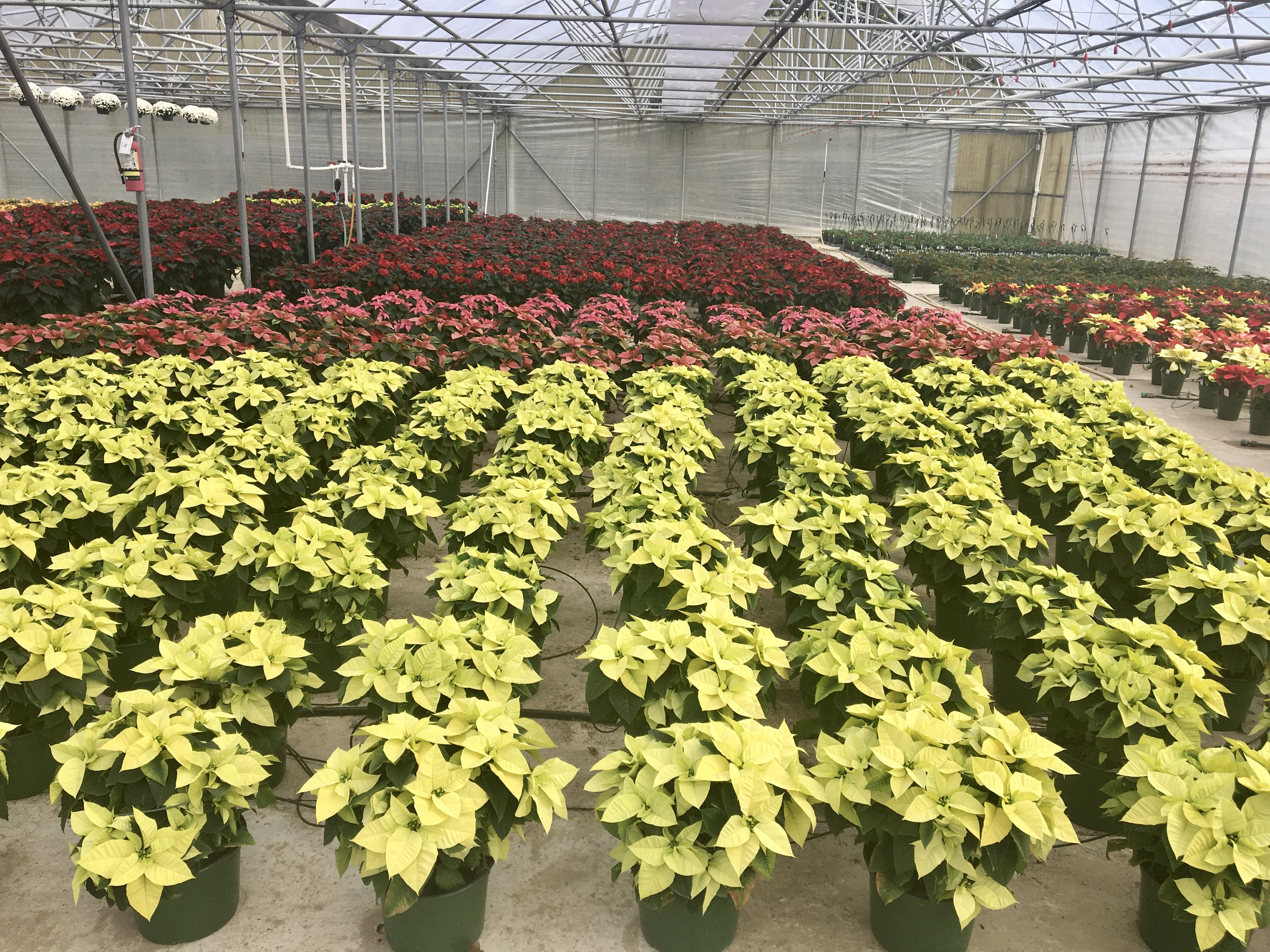 Poinsettias come in a range of colors from white to red.jpg thumbnail