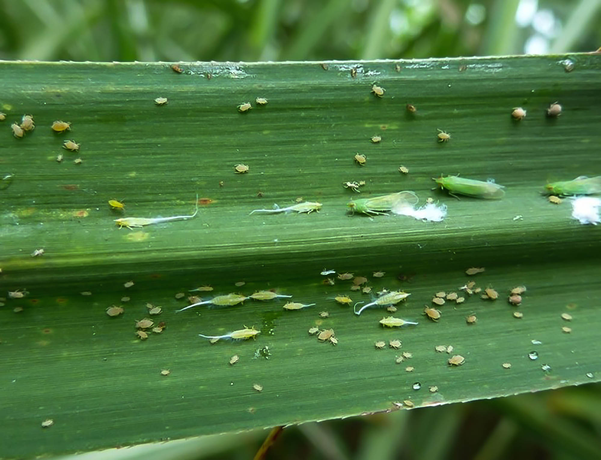 Sugarcane Aphid_West Indian Cane Fly Complex.