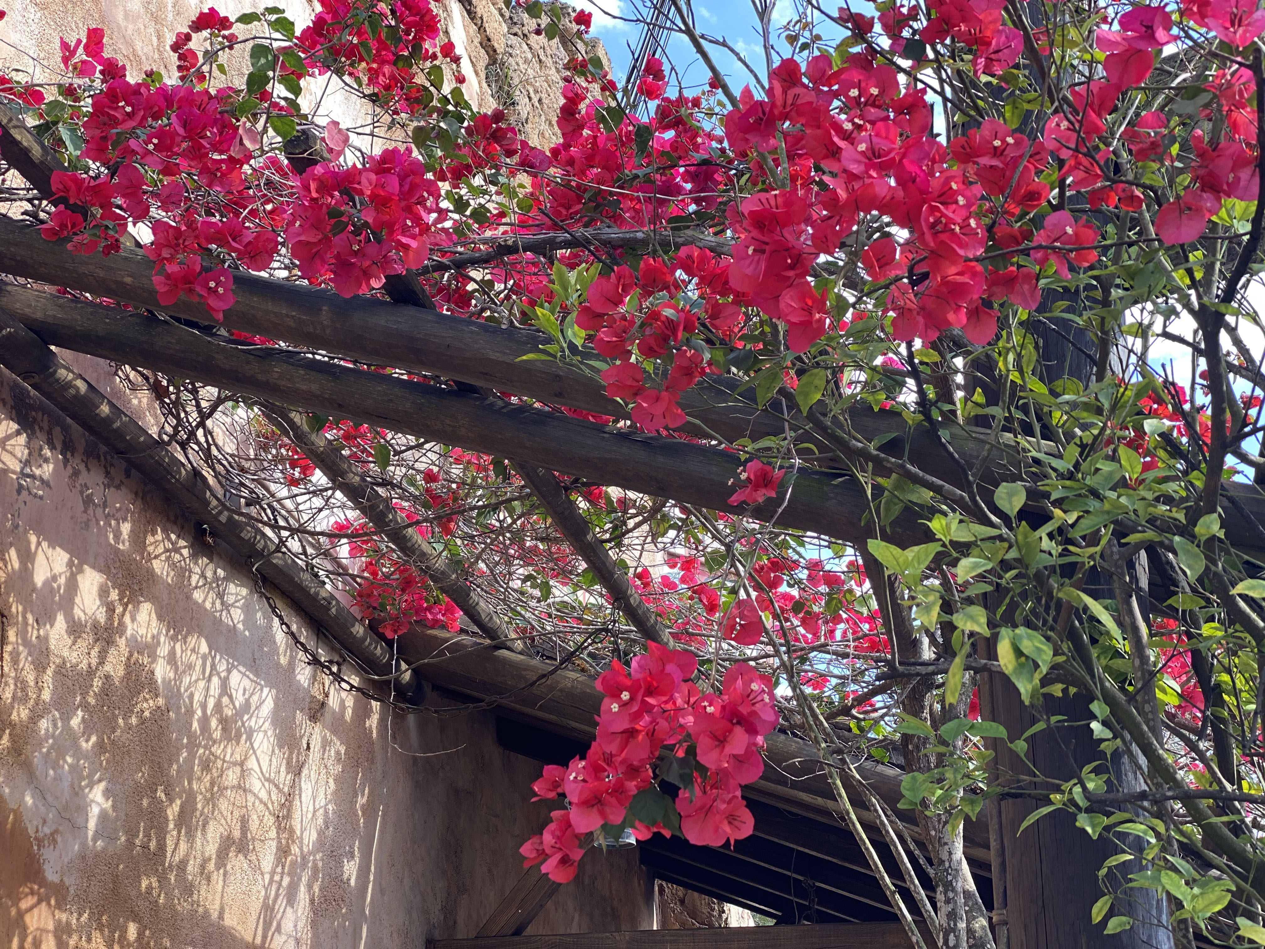 Bouganvilla is a popular vine for a tropical look..jpg thumbnail