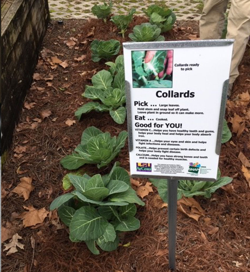 collards greens growing in a garden.