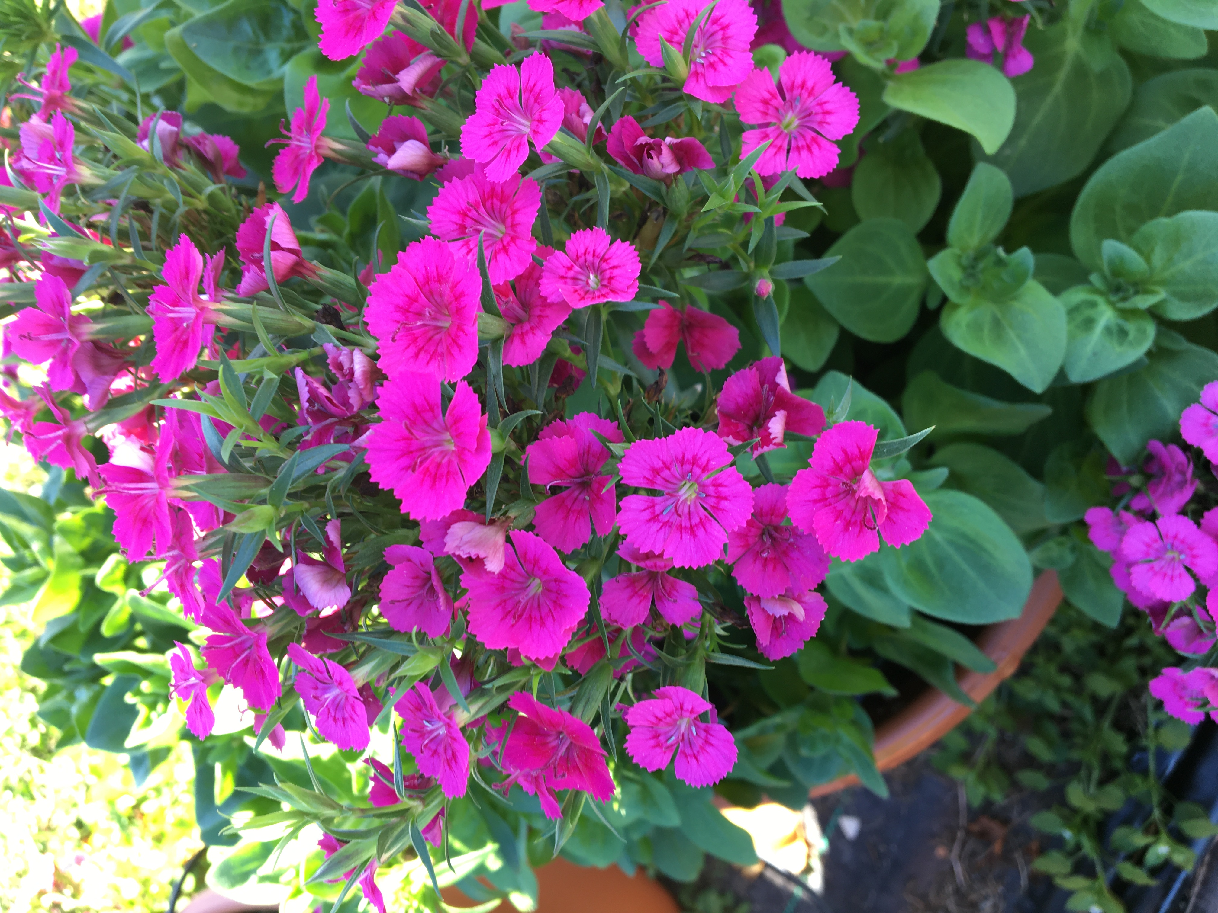 Jolt dianthus Louisiana Super Plant for 2019 out blooms the rest in winter time..JPG thumbnail