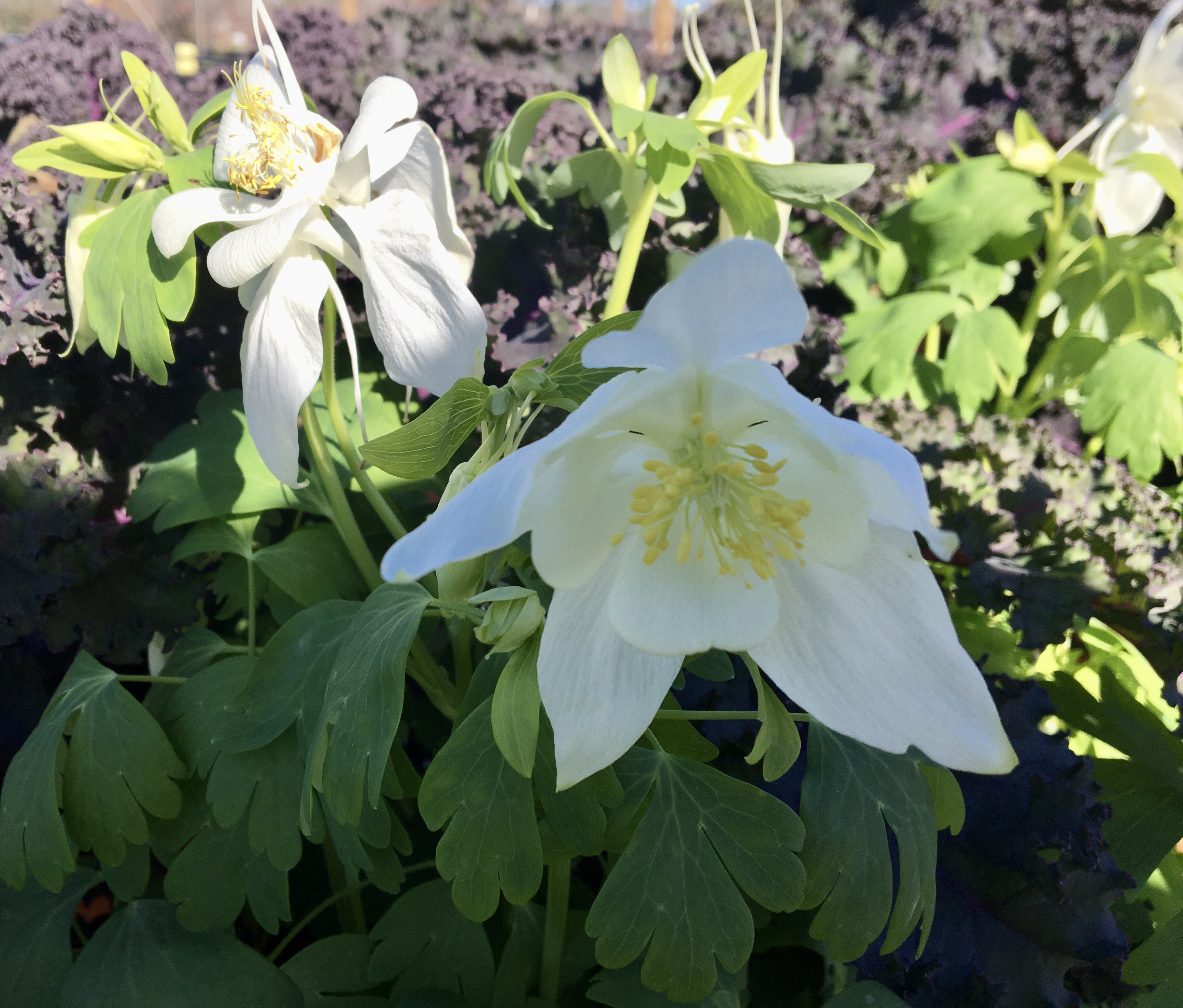 Swan series columbine blooms in winter offering gorgeous color.jpg.png thumbnail