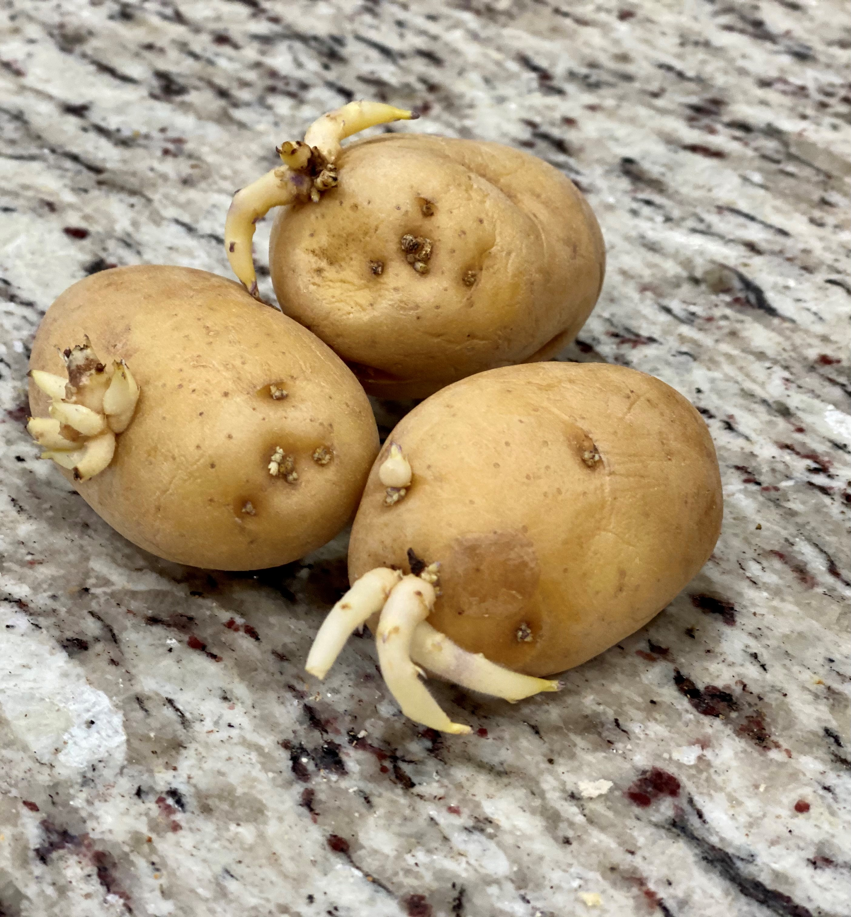 Three potatoes with sprouts.