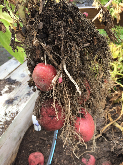 Potatoes pulled up with the roots exposed.