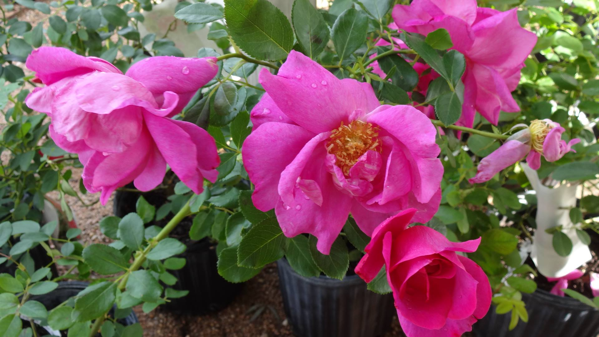 American garden rose selections announce debut winners for The gardens of the american rose center