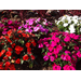 Super Plant SunPatiens blooms all summer