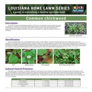Louisiana Home Lawn Series: Common chickweed