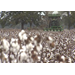 Cotton harvest nearly complete