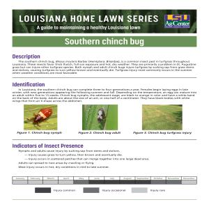 Louisiana Home Lawn Series: Southern chinch bug