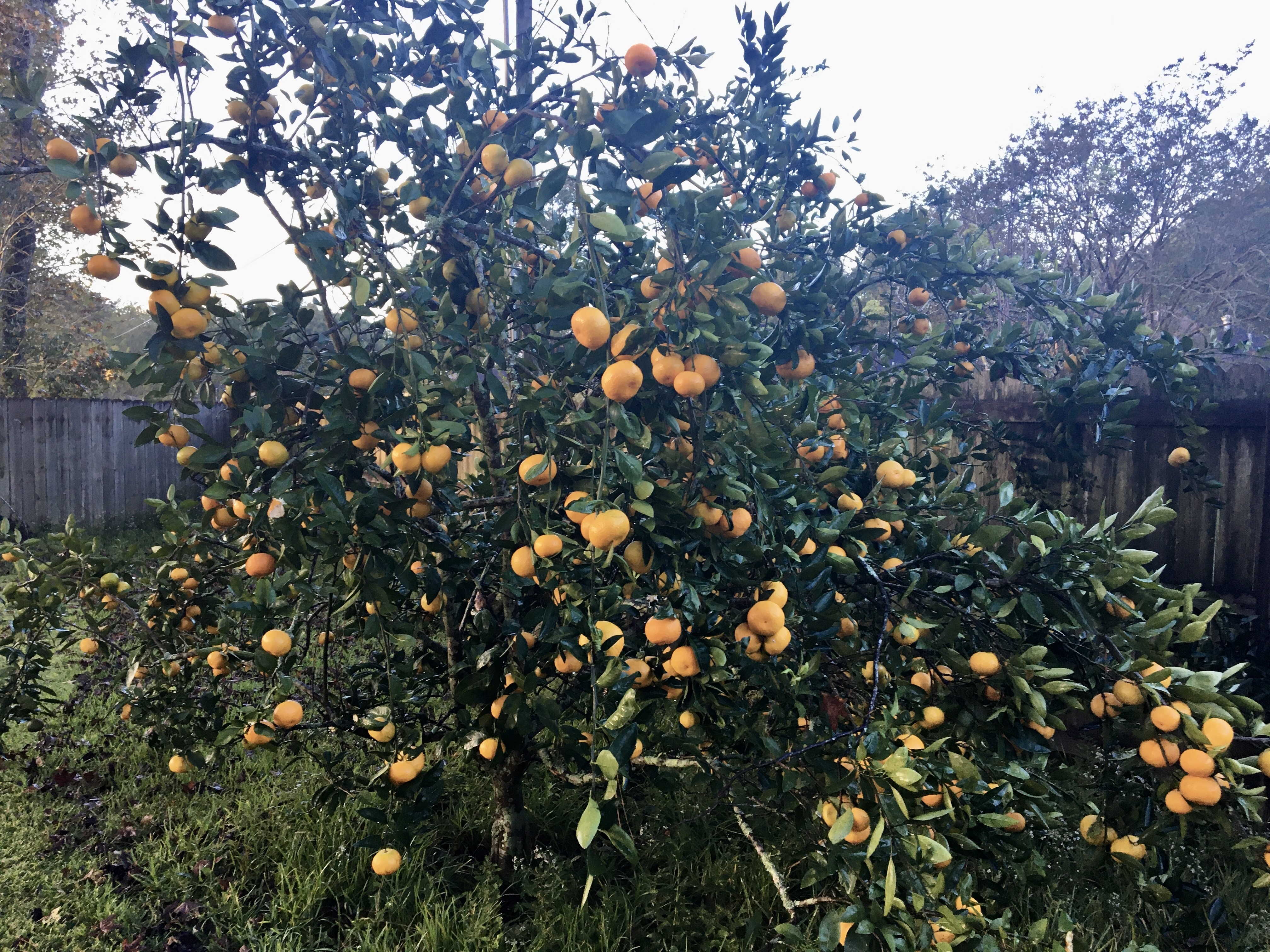 Satsumas are small trees with low growing branches that bear fruit in the fall.HKB.jpg thumbnail