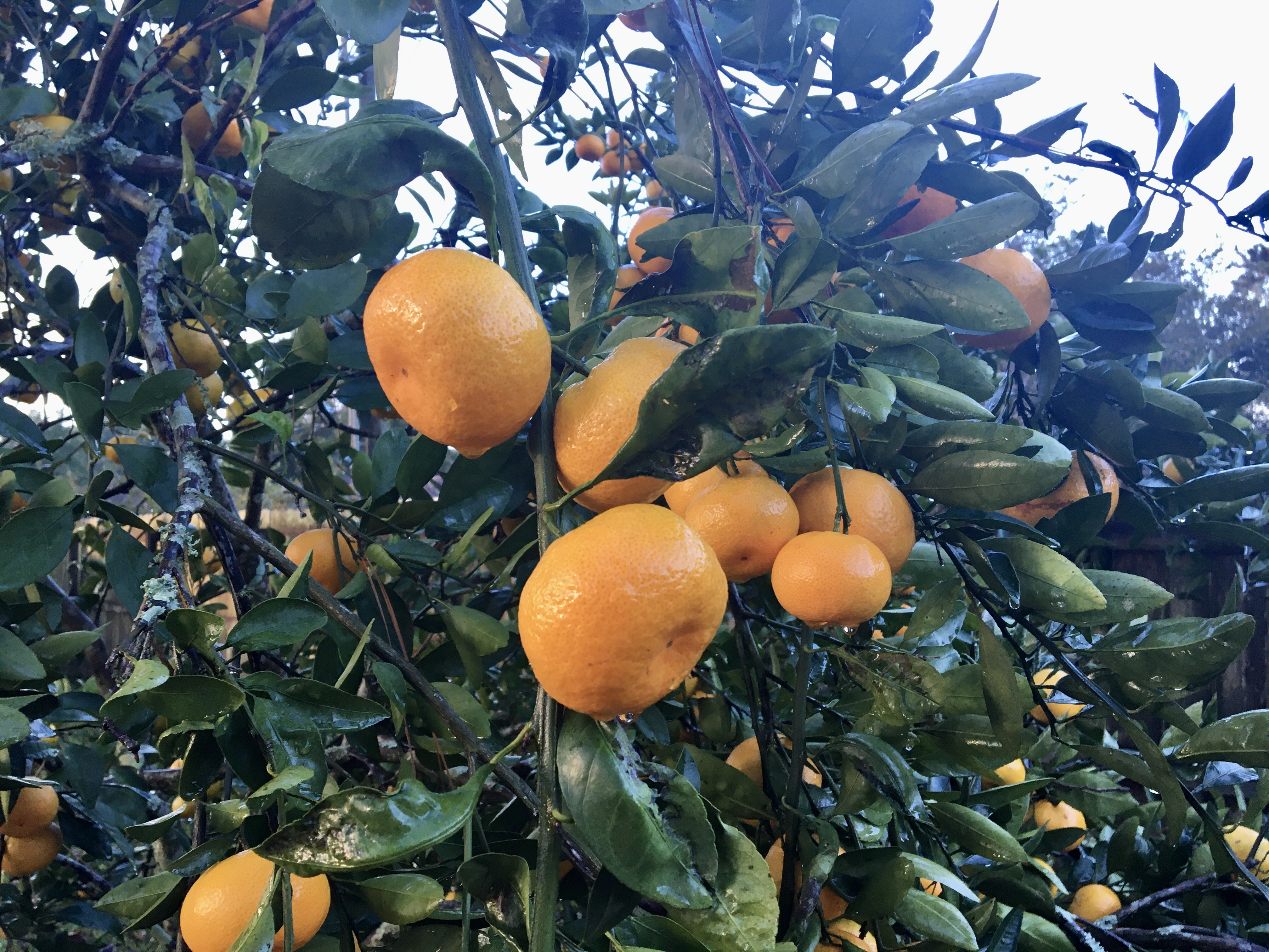 Satsumas ripen on the tree in late October.jpg thumbnail