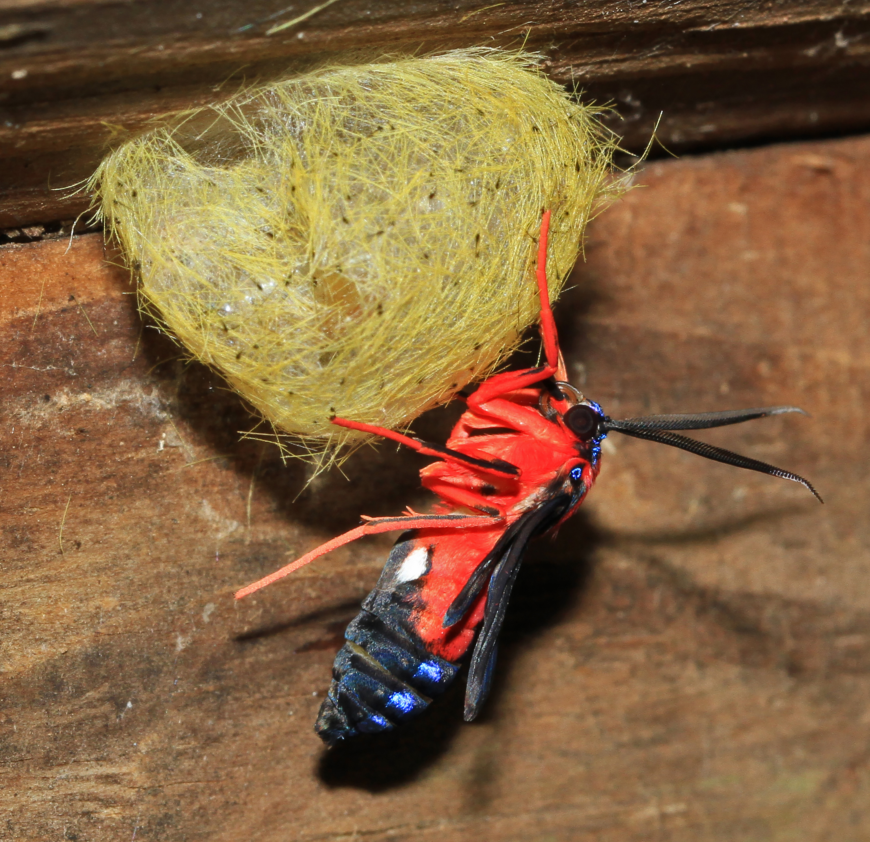 A red and black wasp moth near a cocoon.