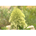 Limelight hydrangea thrives in heat