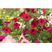 Check labels when choosing petunias