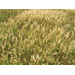 Reports of Fusarium Head Blight of Wheat (Scab) Statewide