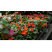 Get It Growing: Super Plant Beacon impatiens thrives in shad