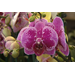 Moth orchids are easy to grow