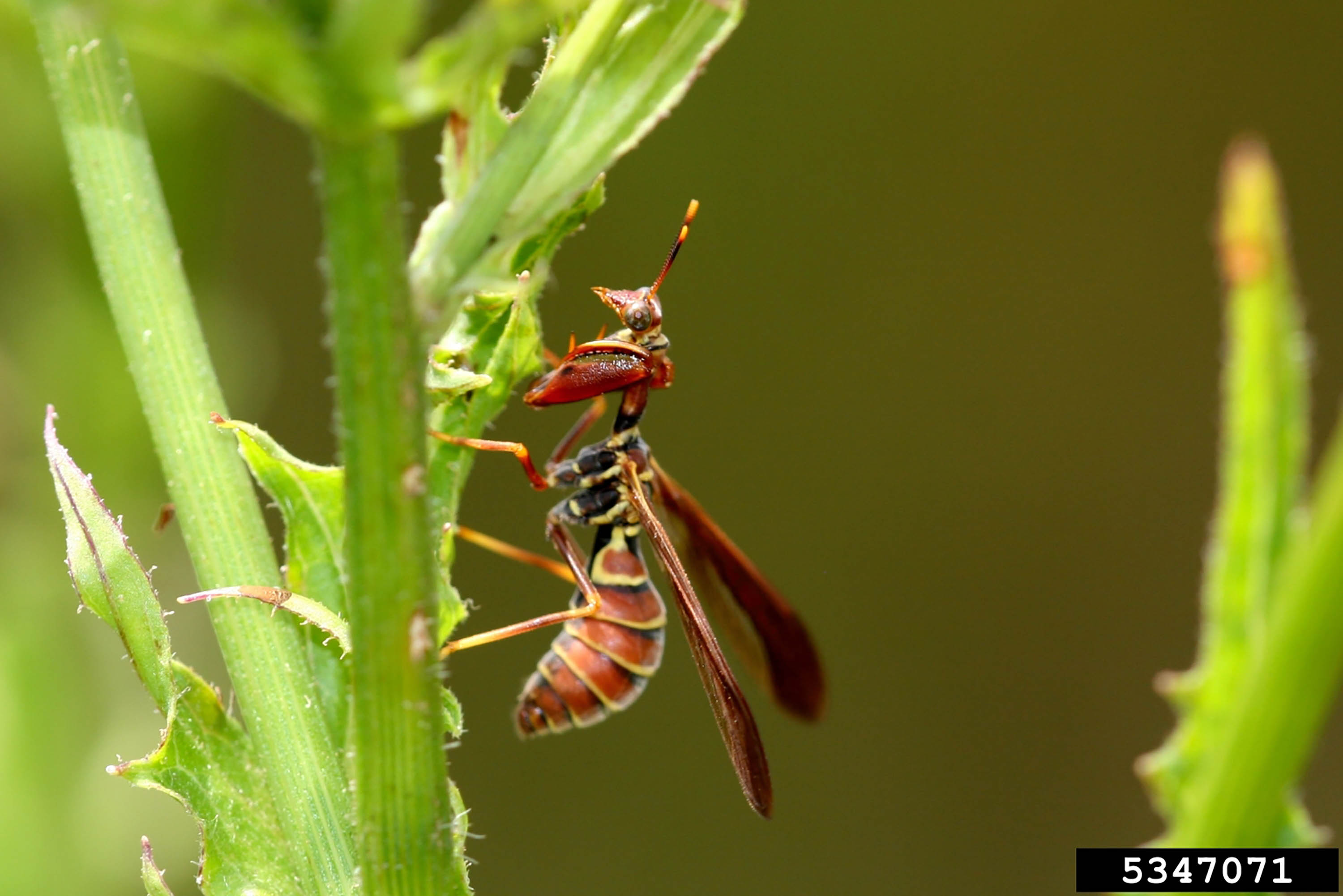 Side view of a wasp on a stem.