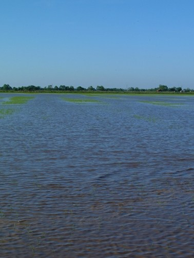 water seeded rice field showing stand loss from duck feeding