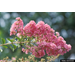 Crape Myrtles- A Southern Icon