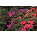 New sun patiens can withstand summer heat