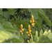 Golden color, easy care make candlestick plant ideal for fall