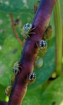 81919_Figure_3_Juvenile_forms_of_the_southern_green_stinkbug_Photo_Brenda_Laurencejpg