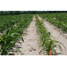 Plant-Parasitic Nematodes in Corn