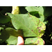 Bacterial Blight (Angular Leaf Spot) Observed in Louisiana Cotton Fields