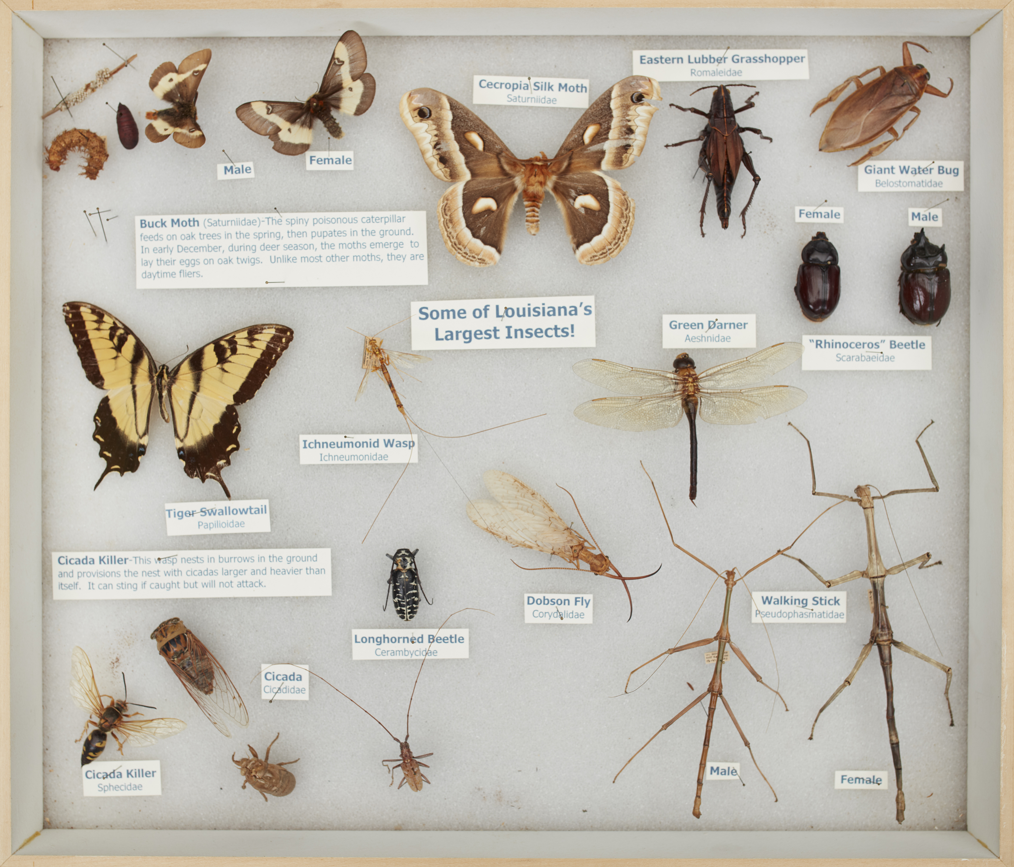 Louisiana insect collection.jpg thumbnail