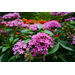 Get It Growing: Lucky Star pentas are newest Louisiana Super Plants