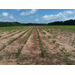 LA Soybean Crop Progress and Condition Week of May 25, 2020