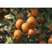 Louisiana citrus harvest underway