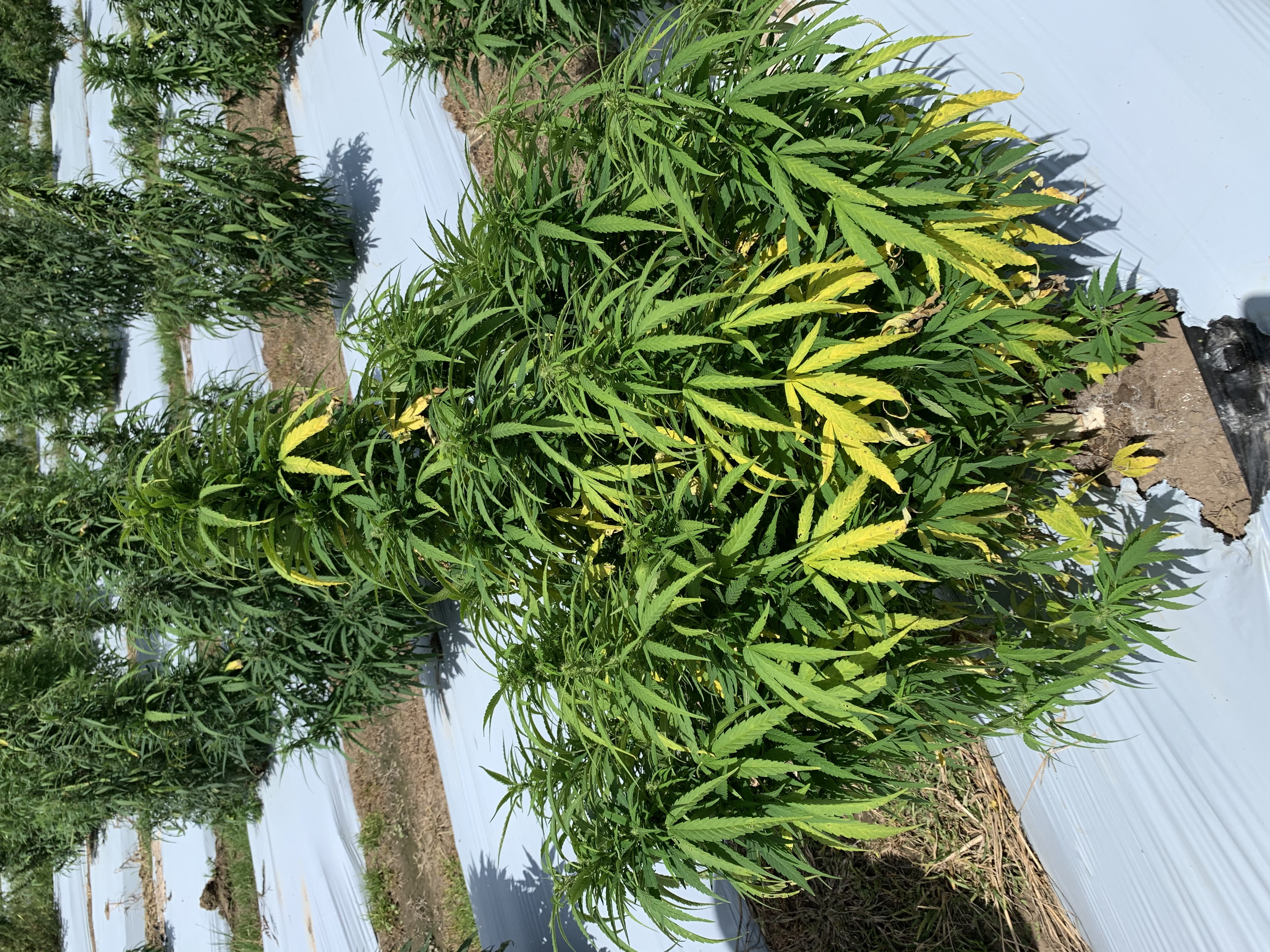 Infected industrial hemp plant with yellow leaves.