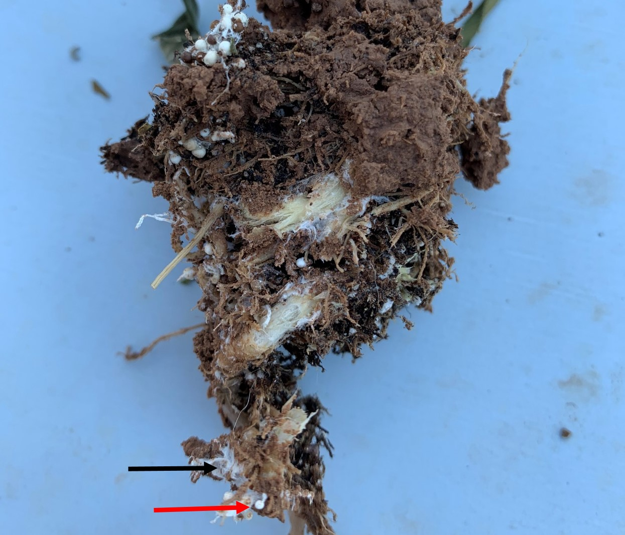 Roots of infected industrial hemp plant showing white fungal growth.