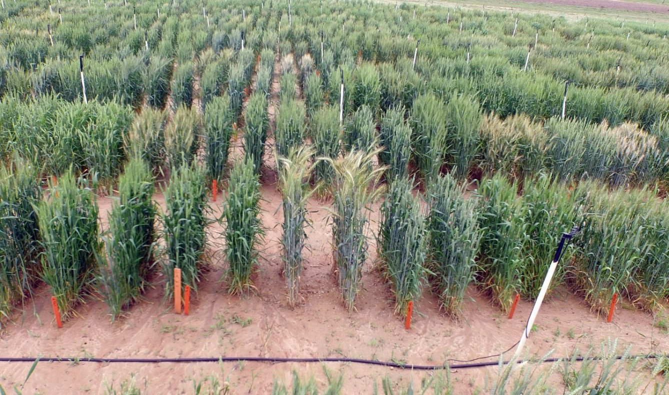 Nursery used to evaluate wheat varietiesjpg