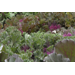 Ornamental kale and cabbage are colorful