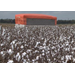 Cotton acres expected to increase in Louisiana