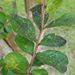 Aphids and Sooty Mold on Crape Myrtles