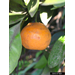 Citrus in the Feliciana Parishes