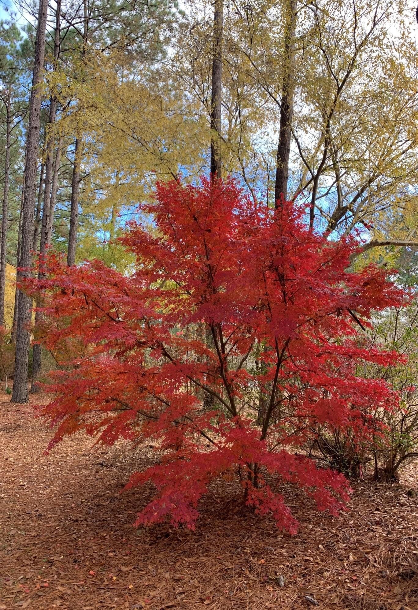 Japanese maples provide gorgeous fall foliage.