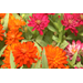 Profusion zinnias, beautiful, disease resistant flowers