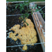 Slime mold showing up in Louisiana gardens