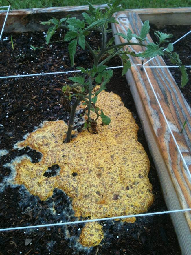 Slime mold at base of a tomato plant.