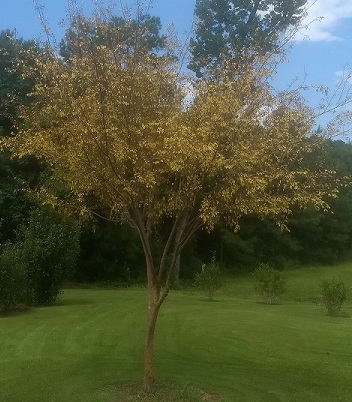 Drake Elm also known as Chinese Elm with yellow foliage.